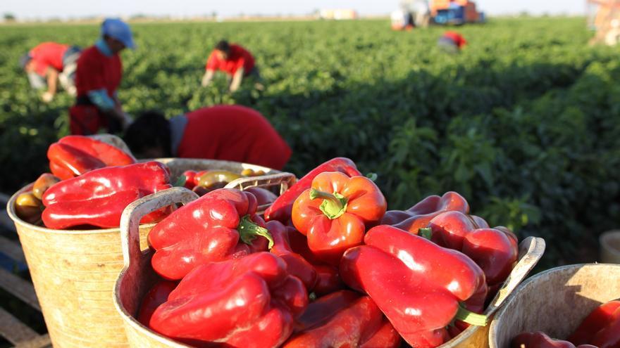 Mercadona prevé comprar 525 toneladas de pimiento rojo canario en 2020