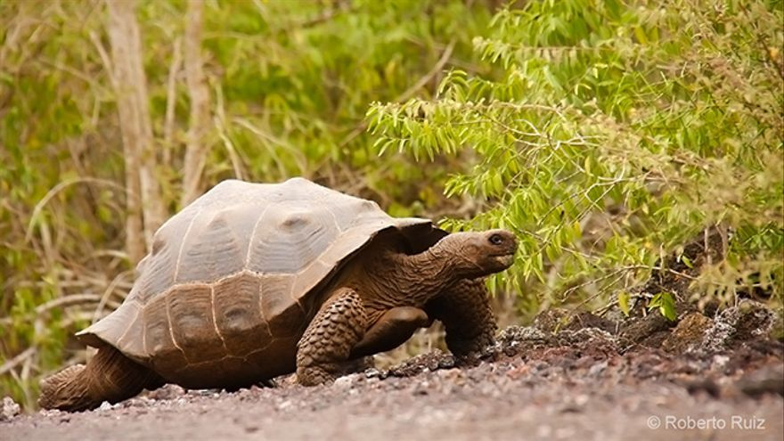Las Islas Galápagos son el hogar de varias especies de tortugas gigantes.