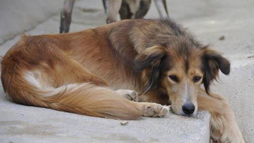 Paula fue acogida en Las Nieves tras ser desahuciada con su familia. Poco después encontró otro hogar, suerte que no tuvieron los otros dos perros de la familia. Foto: Las Nieves