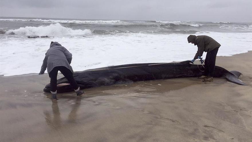 Muere una ballena de aleta en la costa lusa de Viana do Castelo