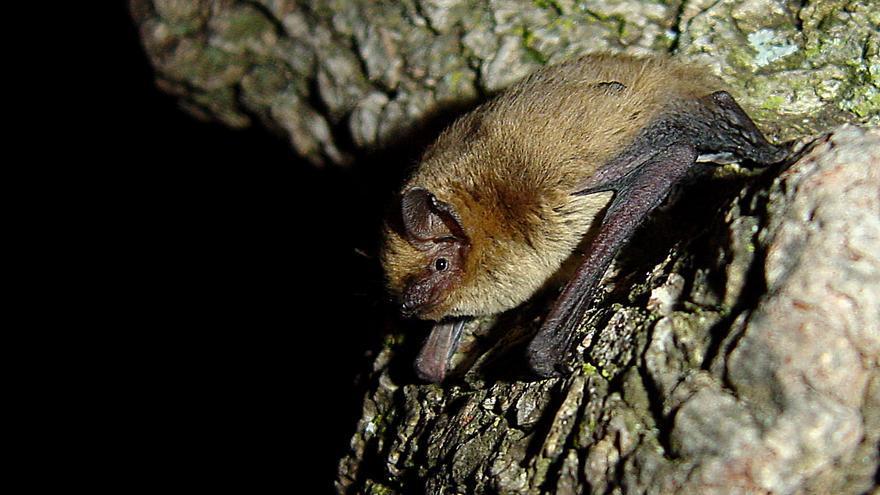Un murciélago de Cabrera, el más común de la Comunitat Valenciana