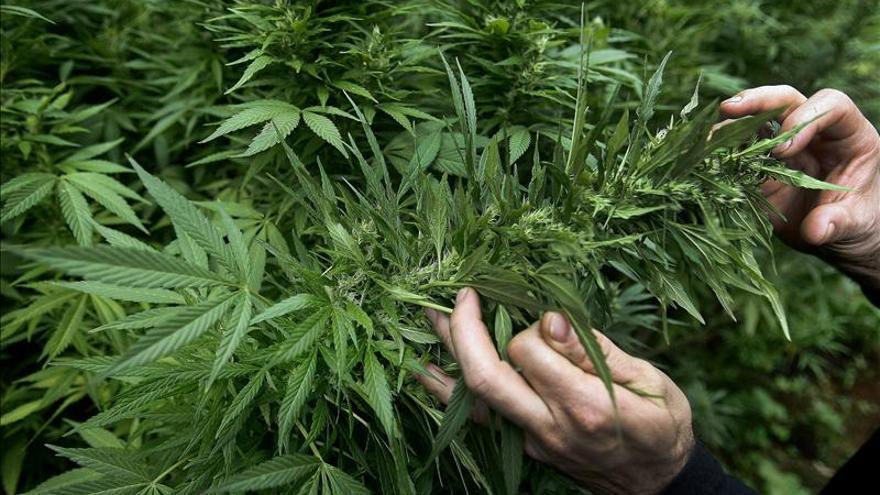 Una comisión del Senado uruguayo aprueba legalizar la producción y venta de marihuana