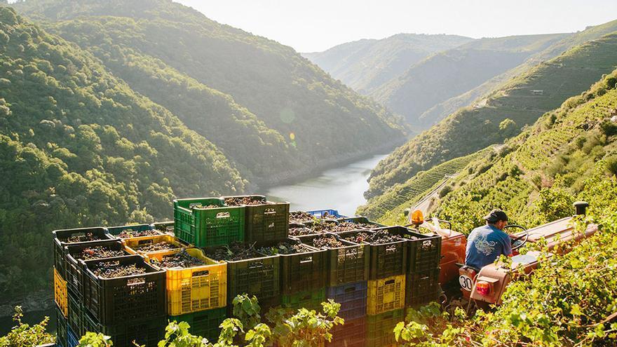 La vendimia en la Ribeira Sacra tiene lugar entre septiembre y octubre.