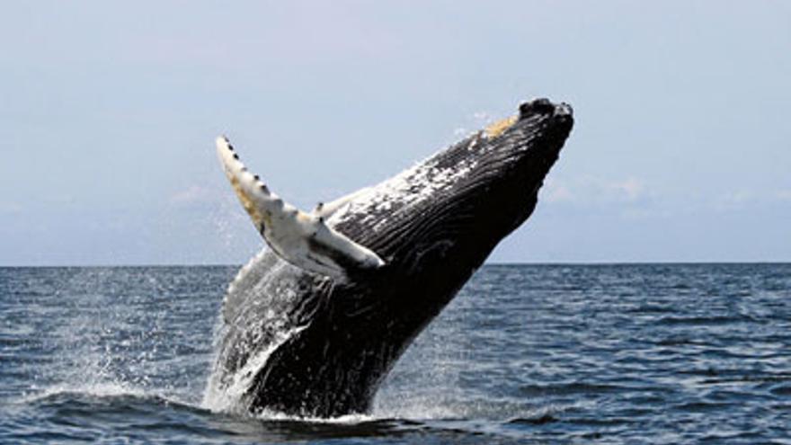 Salto de ballena jorobada. Foto de http://www.republica-dominicana-live.com/