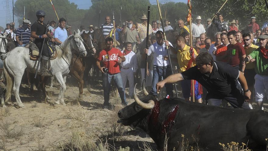 Festejo del 'Toro de la Vega', que se lleva a cabo cada mes de septiembre en Tordesillas (Valladolid). Foto: PACMA