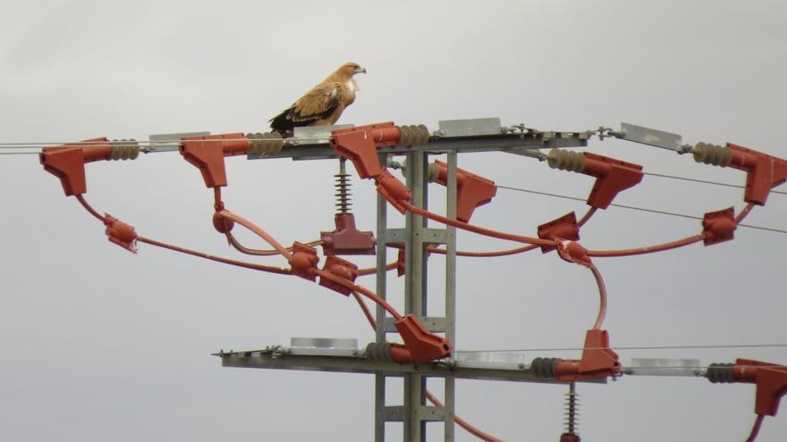 Ejemplar de águila imperial ibérica posado en uno de los apoyos de la línea eléctrica Pozohondo-Salobral .
