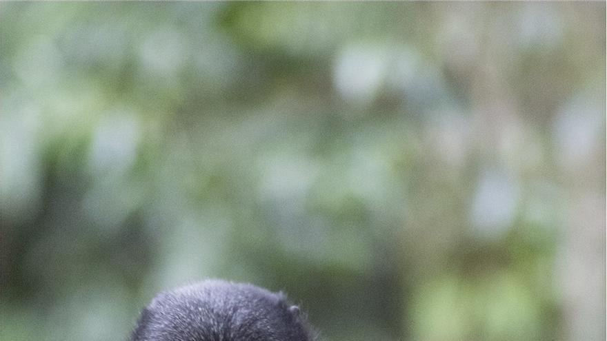 Un cercopiteco de L'Hoest masticando una de las cuerdas en los bosques de Bwindi (Uganda) / T.S. Evans
