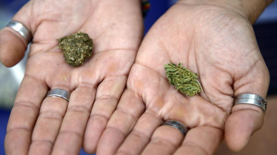 Unas manos sostienen dos cogollos de cannabis
