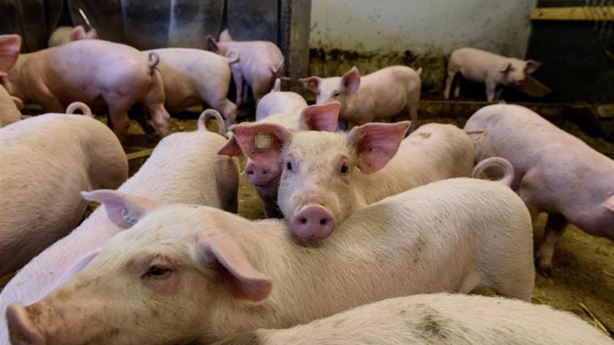 China confirma el quinto brote de peste porcina africana en el este del país
