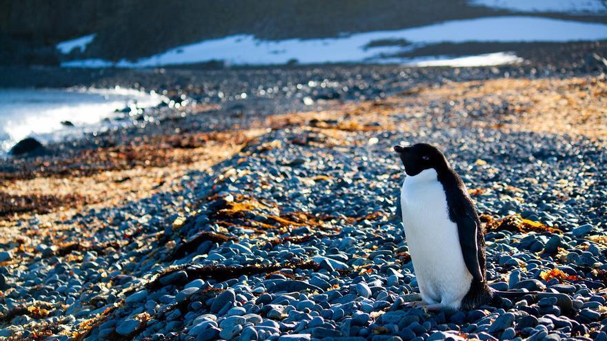 Un pingüino pasea por una playa de Isla Decepción. Enzo Fiorelli