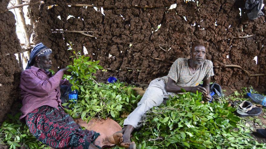 Dos trabajadores en una plantación de khat