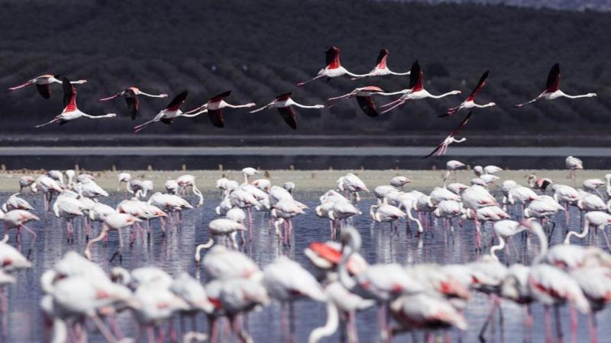 Unos 600 pollos de flamenco son anillados en la Laguna de Fuente de Piedra