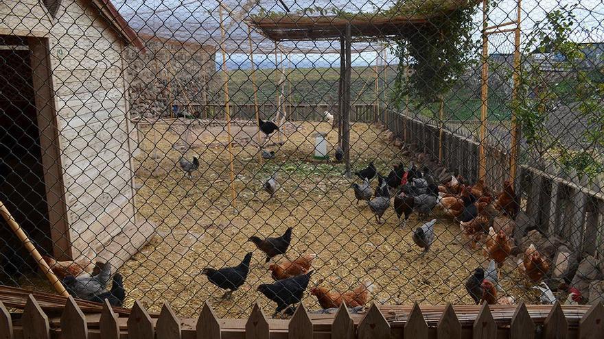 Corral de gallinas. (Canarias Ahora).