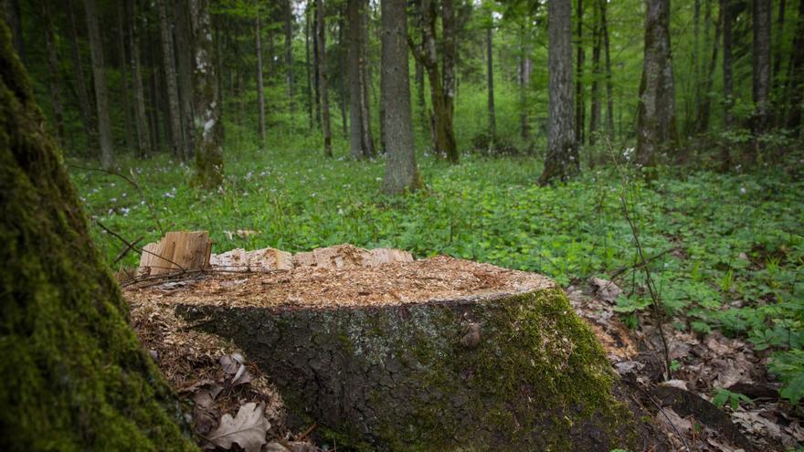 Un árbol talado en el bosque de Białowieża, Polonia, el último bosque virgen en Europa.