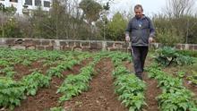 Plantación de papas en Valleseco (Gran Canaria)