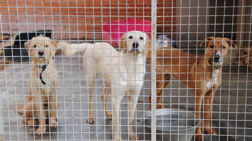 Tras sufrir maltrato y abandono, los perros carecen de expectativas en la Comunidad Valenciana.