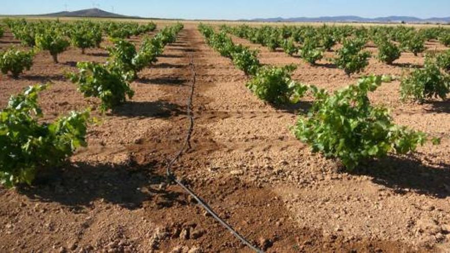 Riego localizado en viñedo