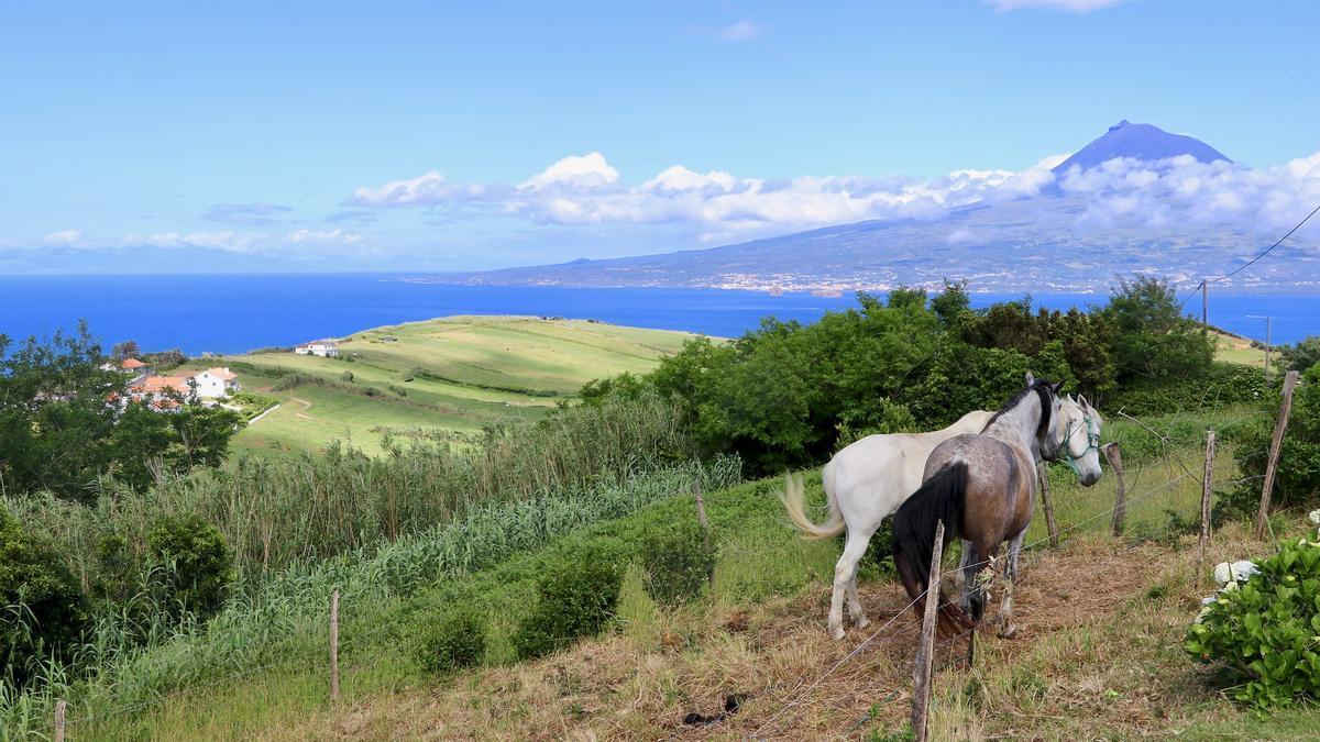 Unos caballos pacen tranquilos en la campiña de Faial. Al fondo puede verse Pico, máxima altura de Azores y de Portugal.