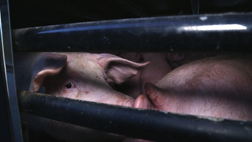 Cerdos transportados al matadero tras una vida de explotación y violencia.