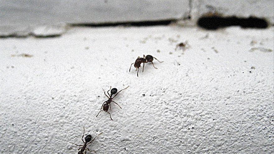 Cómo evitar que hormigas, moscas y cucarachas invadan la cocina en ...