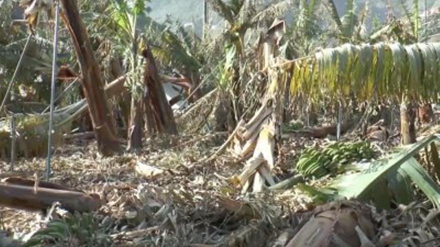 Plataneras afectadas por el temporal en La Gomera.