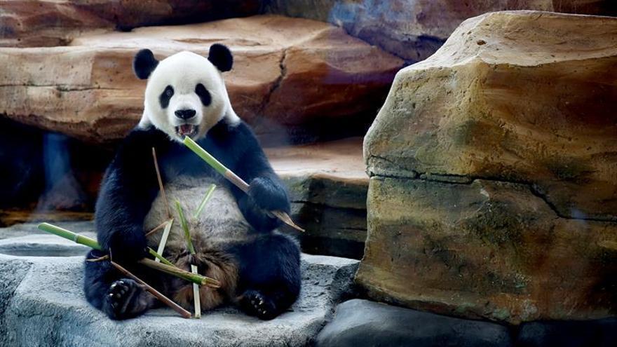 Indonesia presenta a la prensa a la pareja de osos pandas Hun Chun y Cai Tao