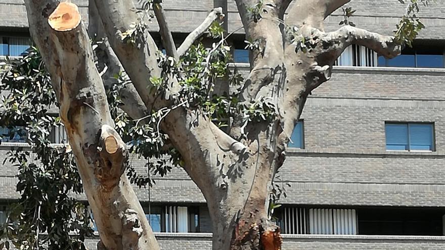 Ficus de la plaza de Santo Domingo (Murcia)