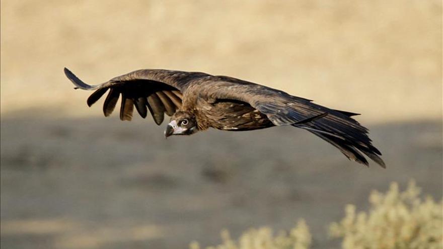 El pollo de buitre negro seguido por webcam en Guadarrama emprende el vuelo