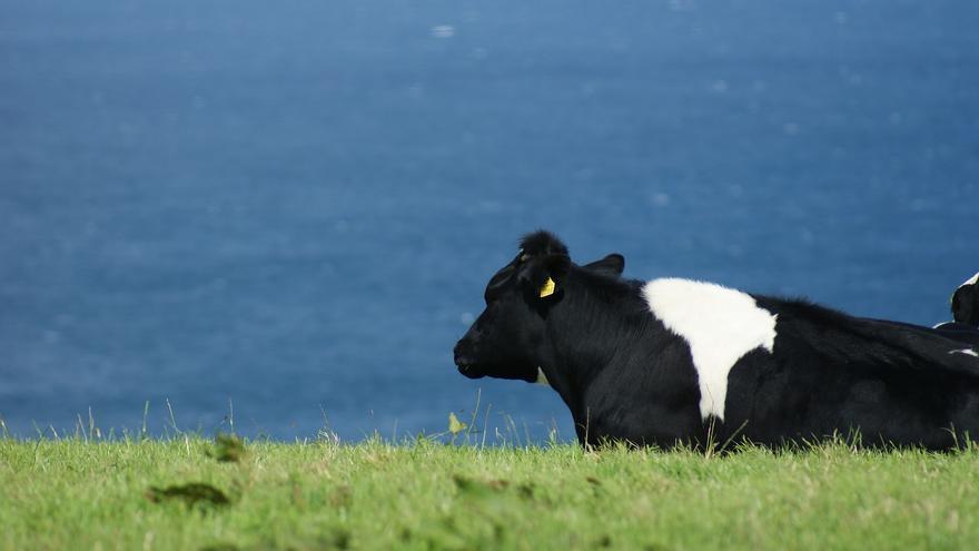Una vaca pinta