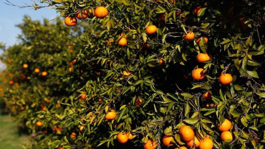 Compromís pide incluir los cítricos como vegetales de alto riesgo en Europa