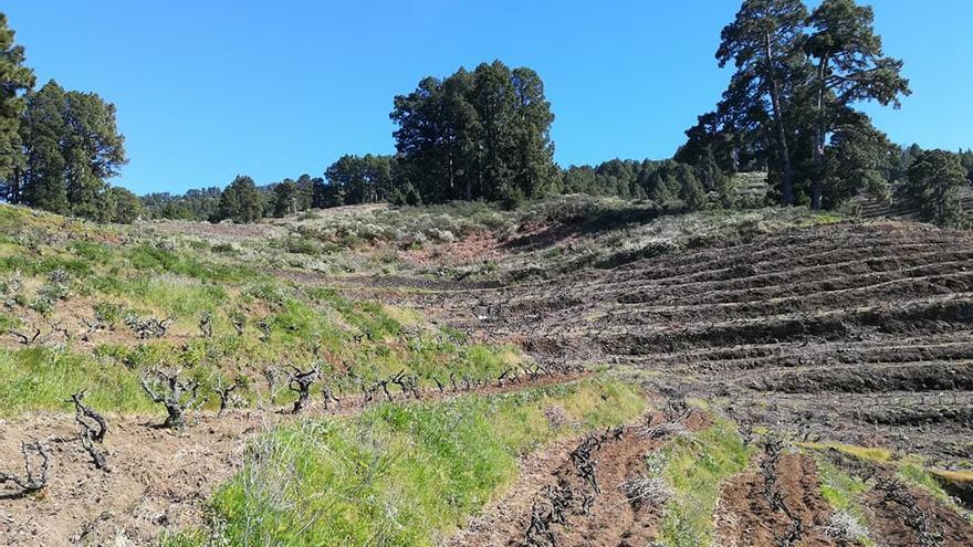 Zona de viñedos del municipio de Garafía