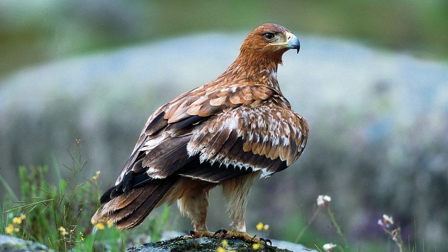 Águila Imperial / SEO.
