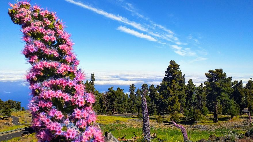 Las  cumbres de La Palma, actualmente, tras el inicio hace unas jornadas de la floración  del tajinaste rosado, lucen con el máximo resplandor una de las joyas del tesoro vegetal de la Isla.