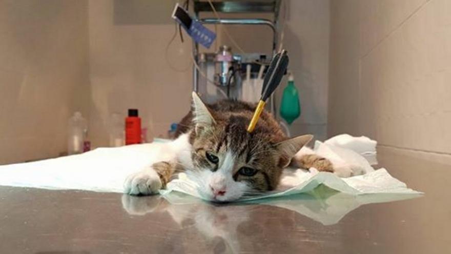 Dante, el gato herido con una ballesta en Toledo
