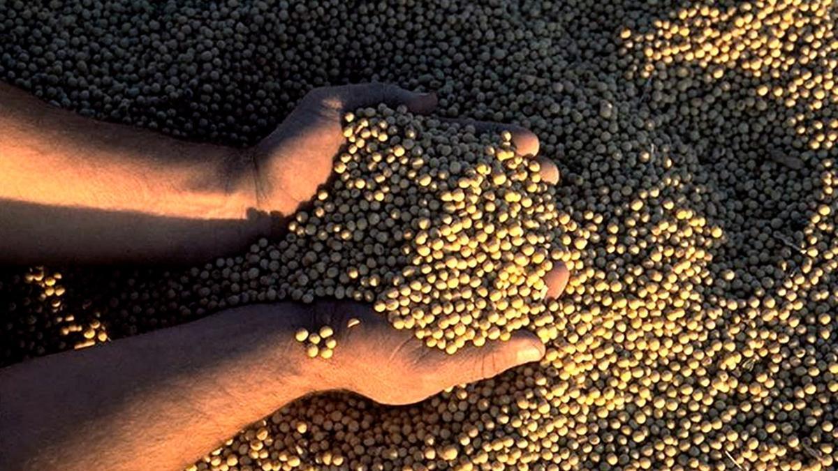 El precio de la soja superó los 500 dólares la tonelada durante esta semana.