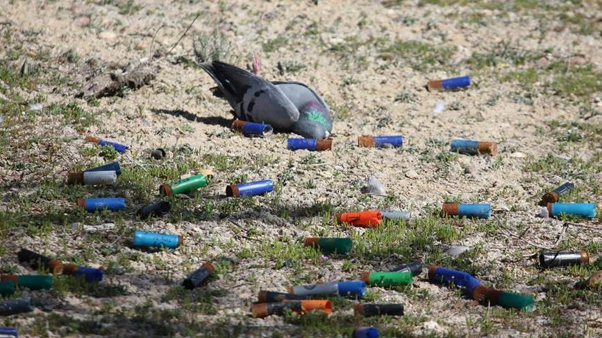 Paloma muerta por tiro al pichón / 'Mis amigas las palomas'