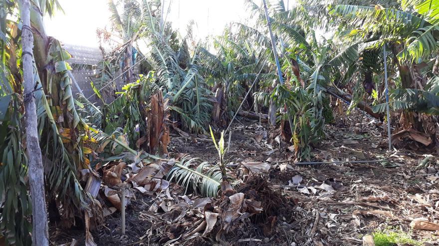 Imagen de cultivo de plátanos afectado por el viento.