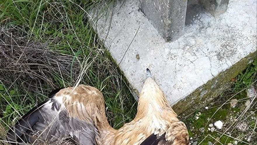 águilas ibéricas electrocutadas en Albacete