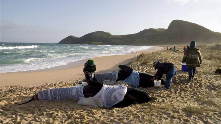 Trece ballenas pilotos quedan varadas en una playa de Nueva Zelanda