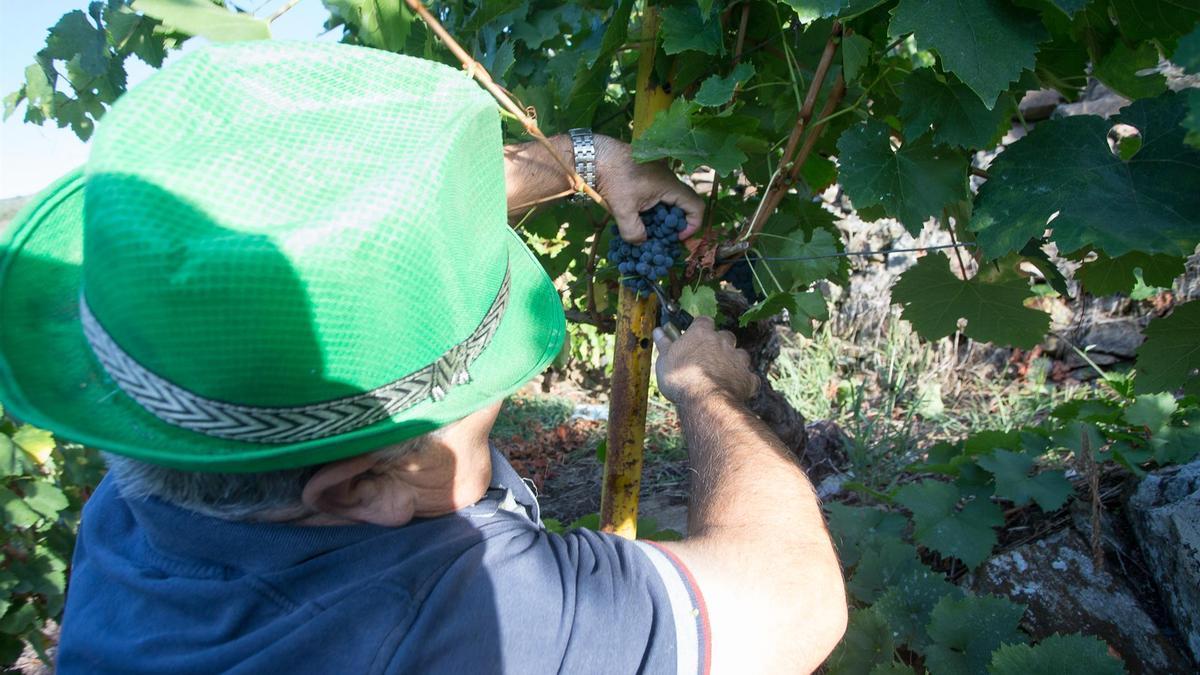 Un vendimiador corta racimos de uvas