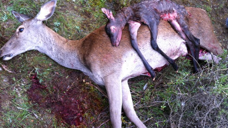 Ecologistas en Acción denunció en 2013 la matanza de ciervas preñadas en el Alto Tajo, impulsada por la Consejería de Agricultura a instancias del Consejo Provincial de Caza de Guadalajara.