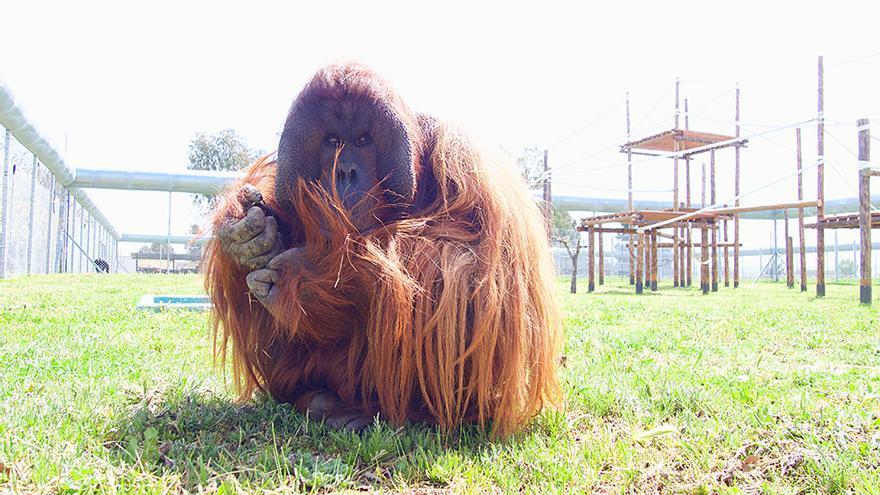 El orangután Boris, uno de los 140 primates del centro de recuperación Rainfer, que dirige Guillermo Bustelo.