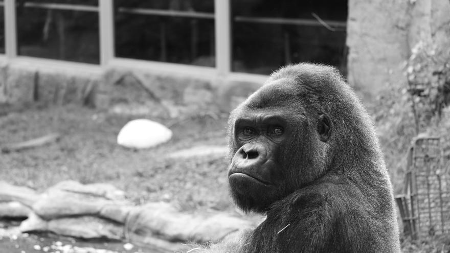 Gorila cautivo
