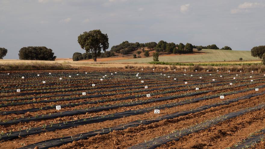 Campo experimental de guayule en Santa Cruz de la Zarza (Toledo)
