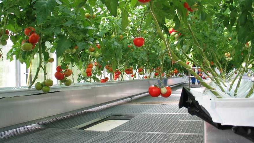 Cultivo hidropónico de tomates (IGB)
