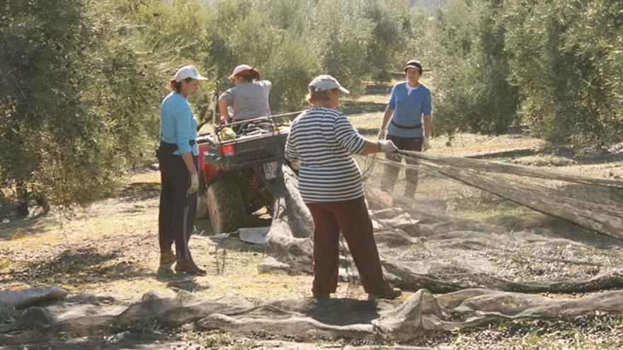 Mujeres rurales trabajando en la recogida de la aceituna