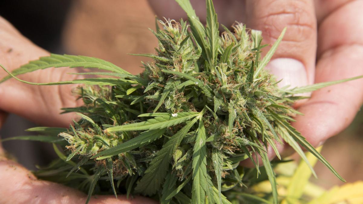 Un hombre muestra una flor de marihuana. EFE/SANTI CARNERI/Archivo
