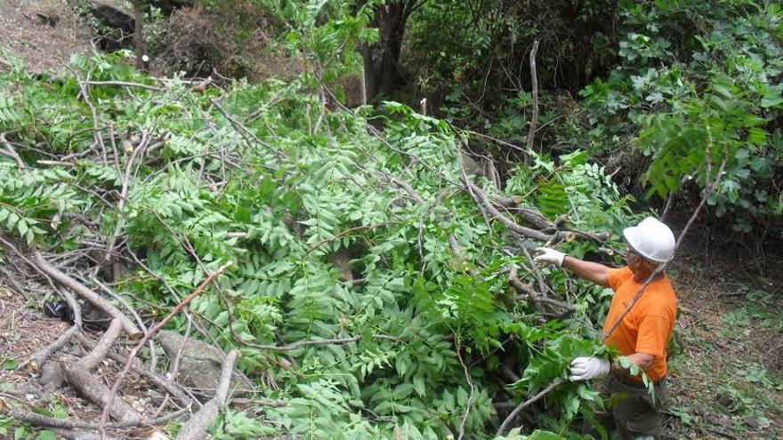 Trabajos de control de la especie exótica, en el barranco del Agua, en Los Silos (Tenerife)