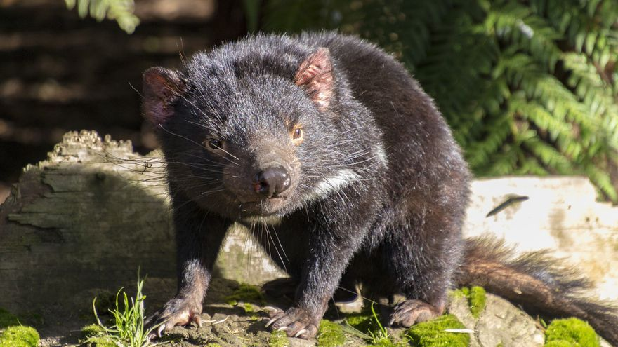 Ejemplar de Demonio de Tasmania. Julia Koefender (CC)