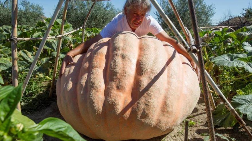 Calabazas gigantes cultivadas en Arribes del Duero que superan los 215 kilos